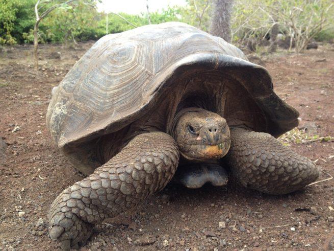 GalapagosTortoise-e1471441183792